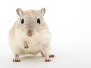 mouse_-animal-cco_public-domain_1238238_1920